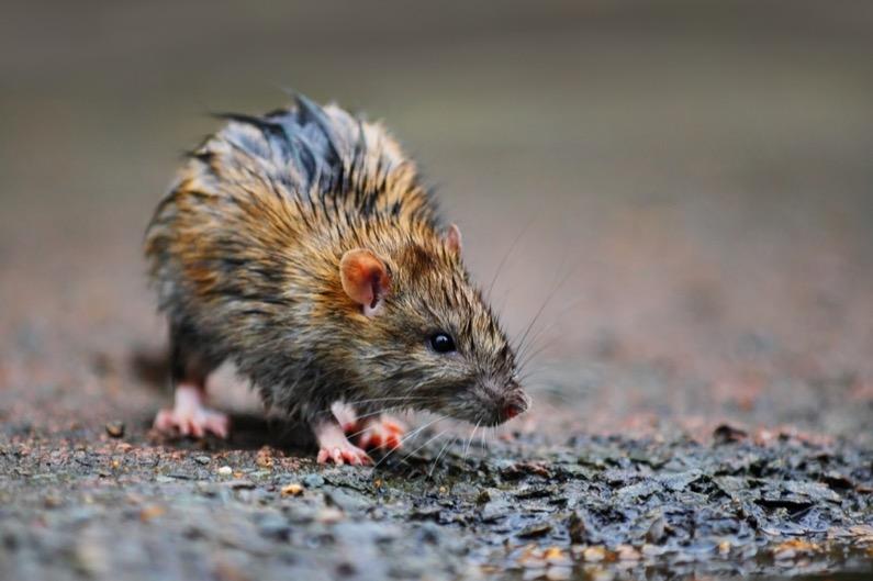 RATS Pest Control - Rat Problem