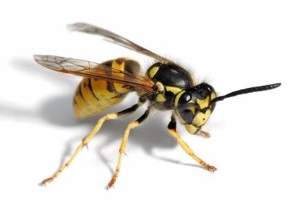 Wasp - Wasp Problem