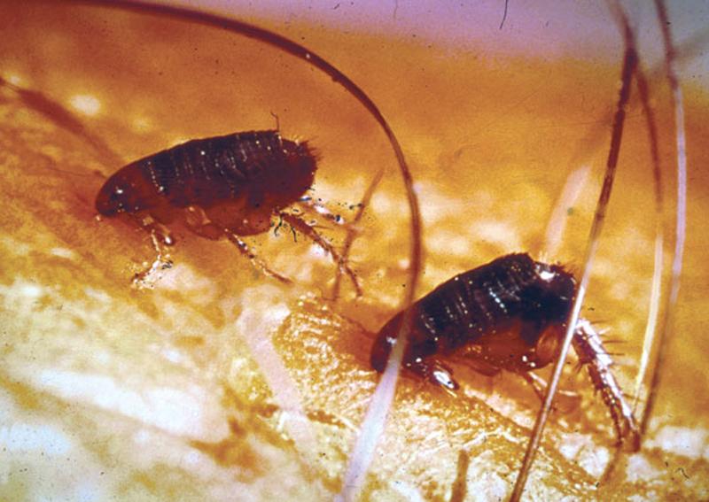 adult - Flea Problem