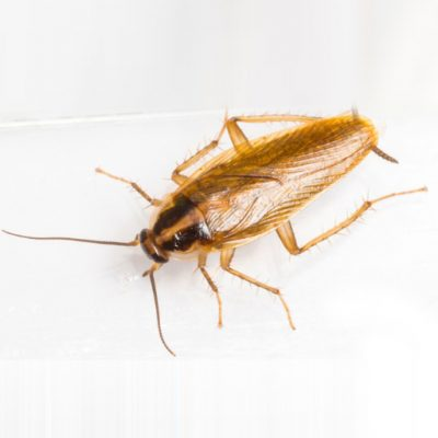 services cockroach 1 400x400 - Cockroach Infestation Problem