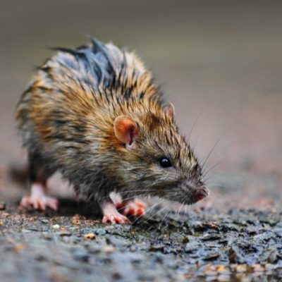 services rat 400x400 - PB Pest Control & Management, Romford and the surrounding areas